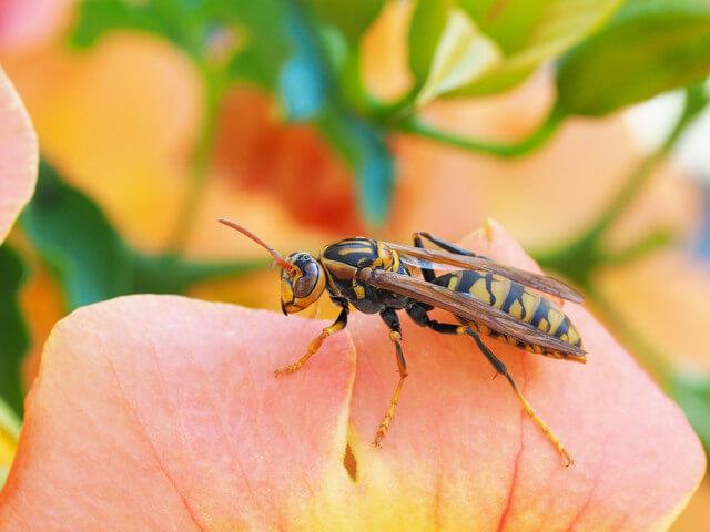 蜂 の 種類 画像