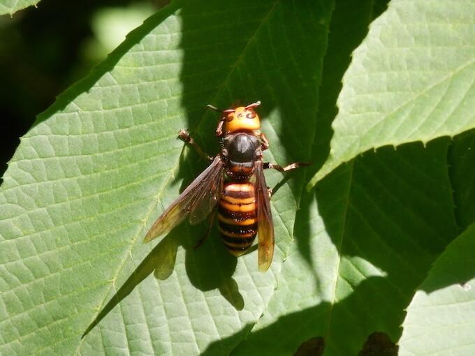 嫌い スズメバチ な 匂い が 刺すスズメバチ9種類:危険なハチがわかる!見分け方と刺されない対策